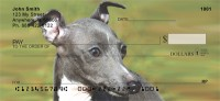 Italian Greyhound Check Thumbnail